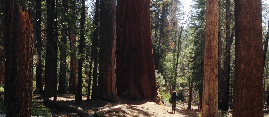 sequoias-crop copy