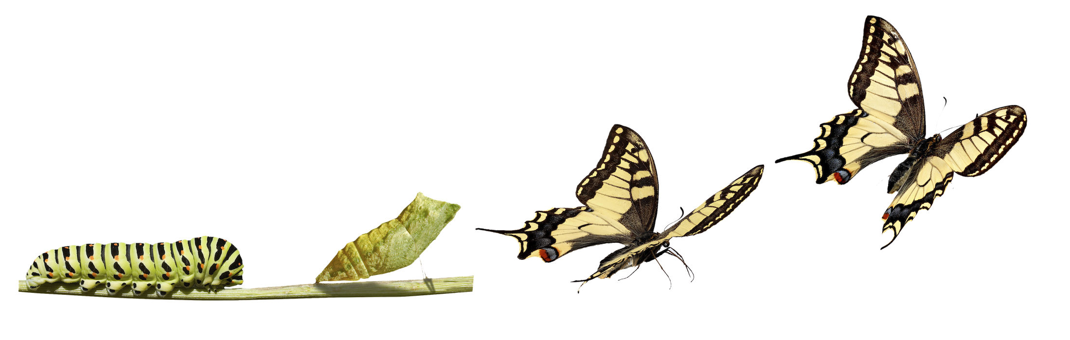 TransformationButterfly