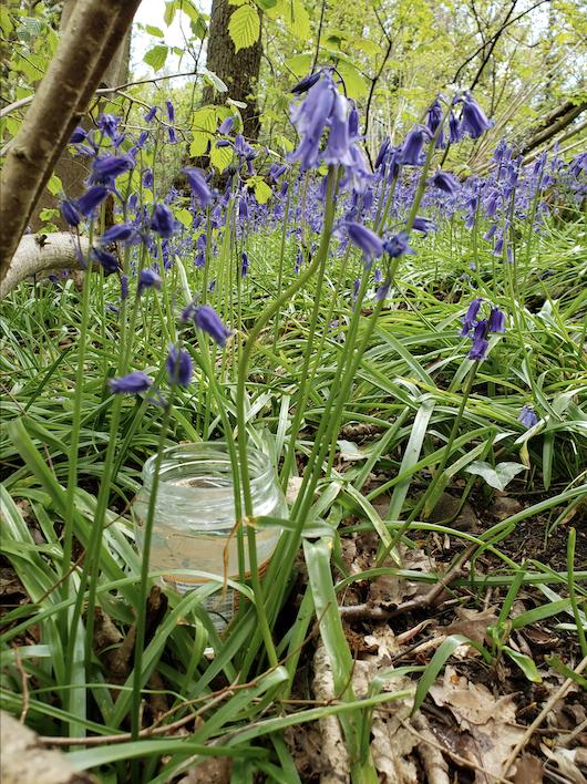 Making bluebell flower essence